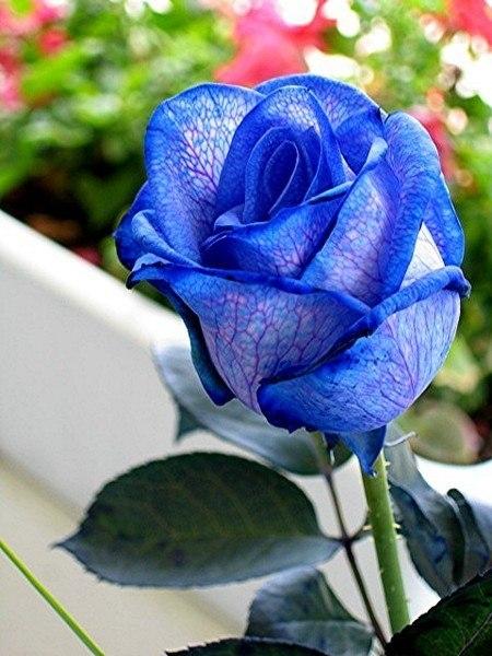 Цветы синего цвета: названия и фото. Как покрасить цветы в